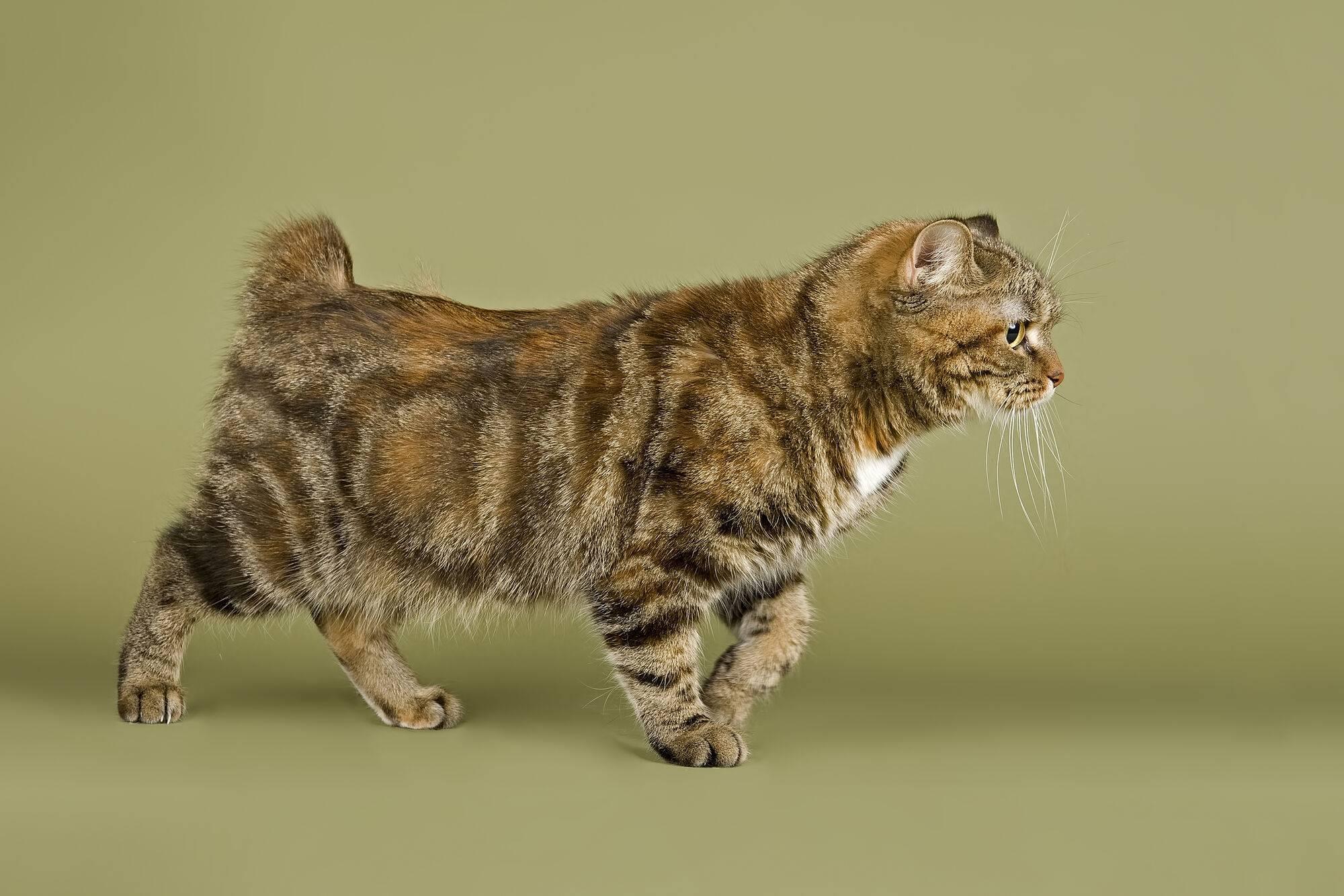 Мэнкс кошка. описание, особенности, характер, уход и цена породы | животный мир