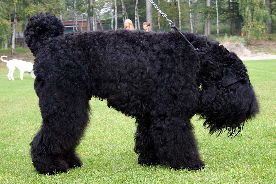 Описание породы собак русский черный терьер: характер, уход, предназначение