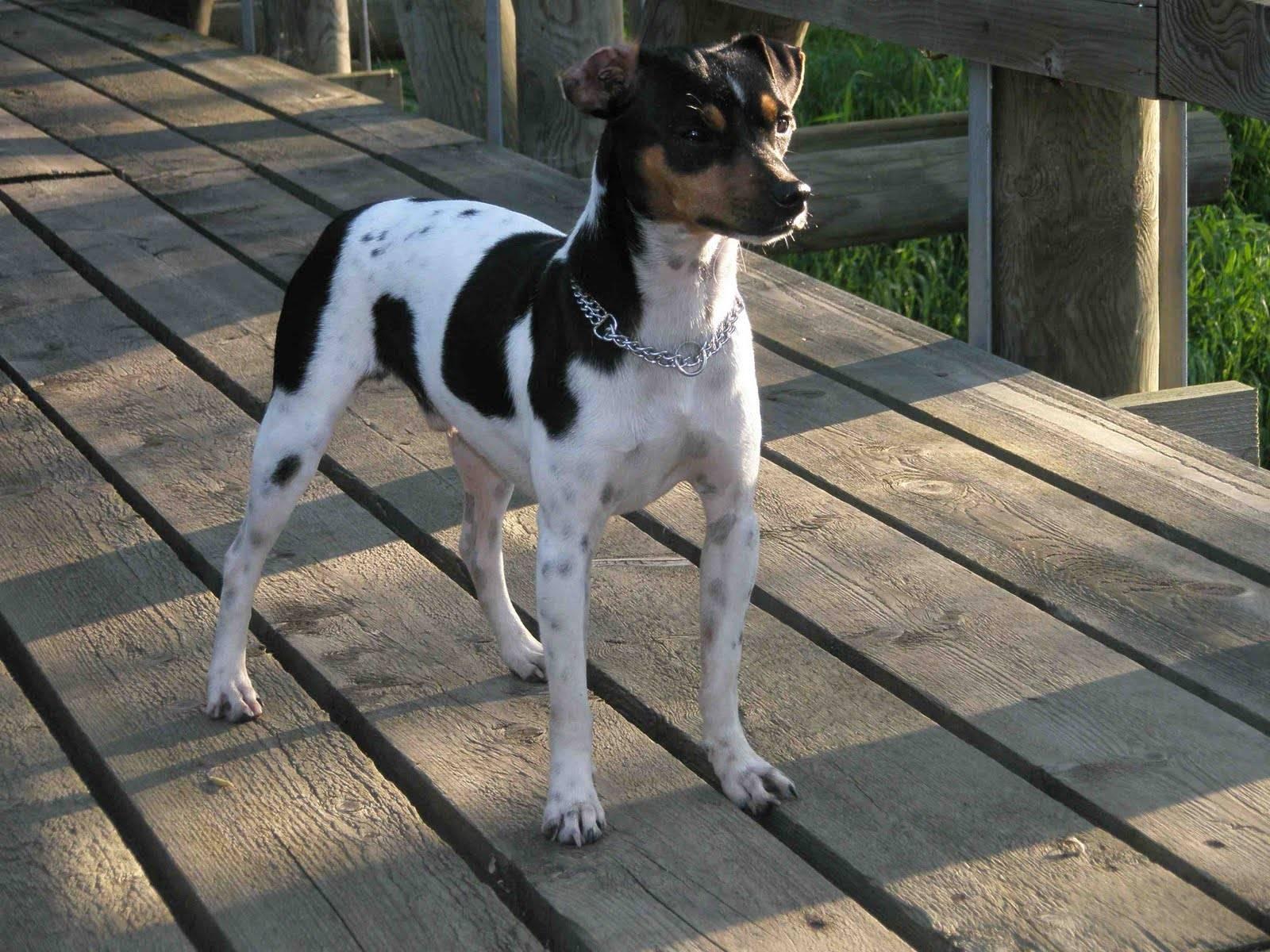 Фила бразилейро (бразильский мастиф): как выглядит собака на фото, описание породы и отзывы владельцев о характере питомца