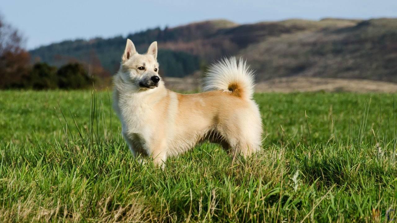 Норвежский элкхаунд: описание породы, характеристика, фото | все о собаках