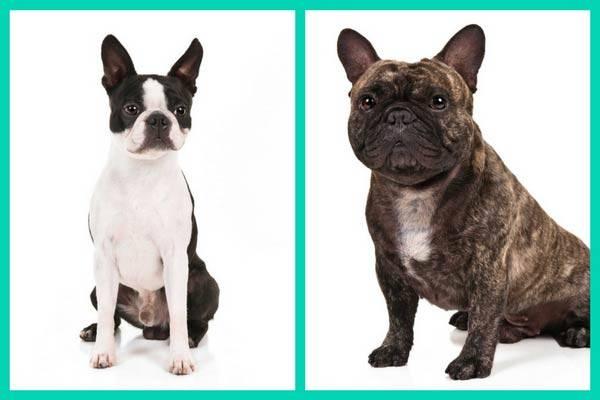 Сравнение мопса и французского бульдога: в чем их отличие, что общего, плюсы и минусы + кого лучше выбрать