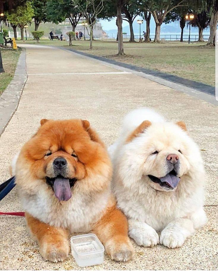 Чау-чау: особенности содержания, уход, выбор щенка