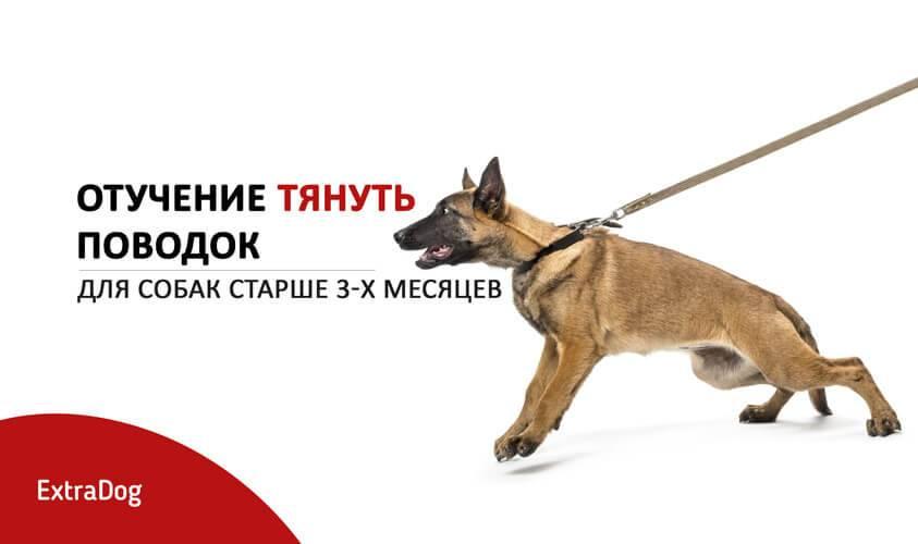 Как отучить собаку тянуть и дёргать поводок на прогулке? | животный мир