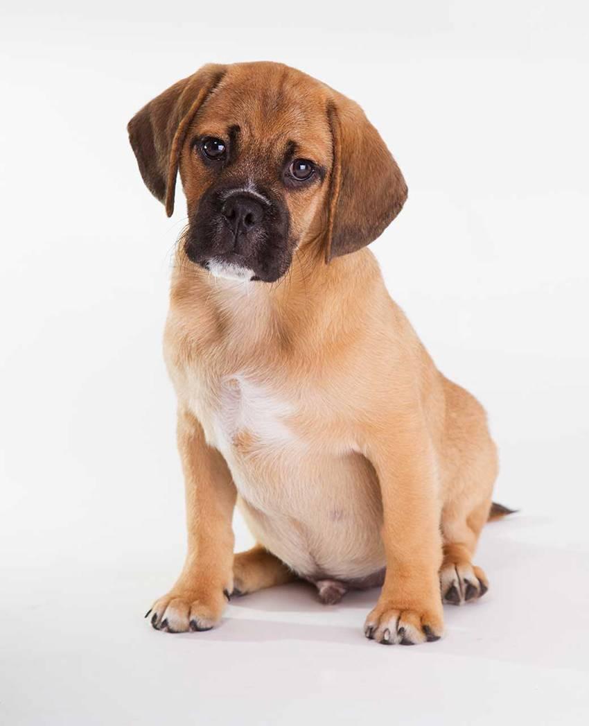 Декоративная собака с развитыми охотничьими навыками – той-фокстерьер (американский)