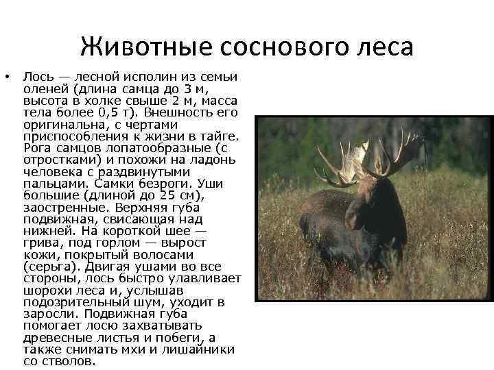 Лось - могучий хозяин родных лесов. как быть при встрече с лосем?