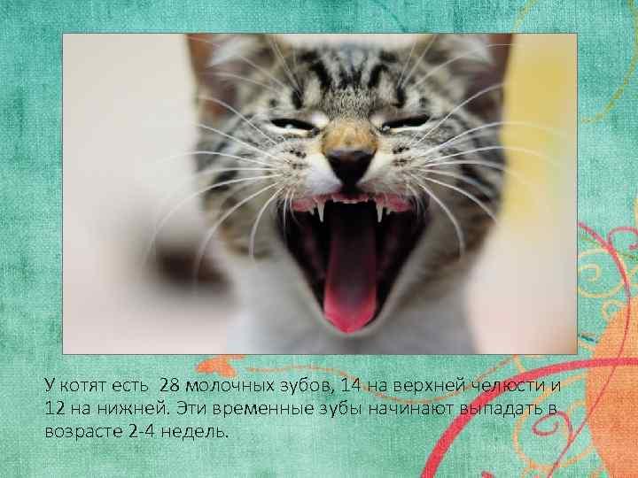 Когда у кошек меняются молочные зубы на постоянные