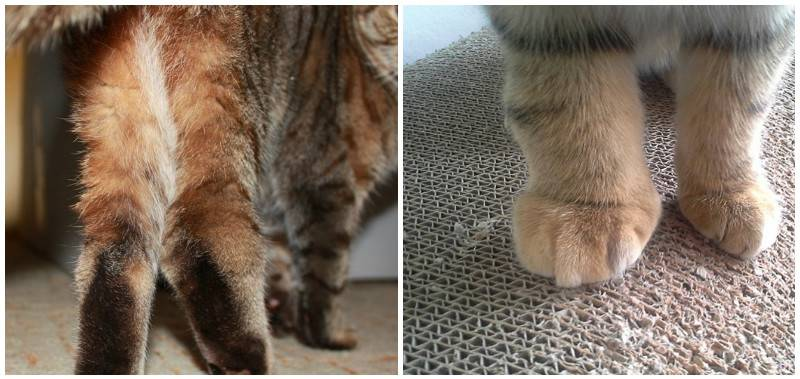 Кот хромает на задние лапы: что это может быть?