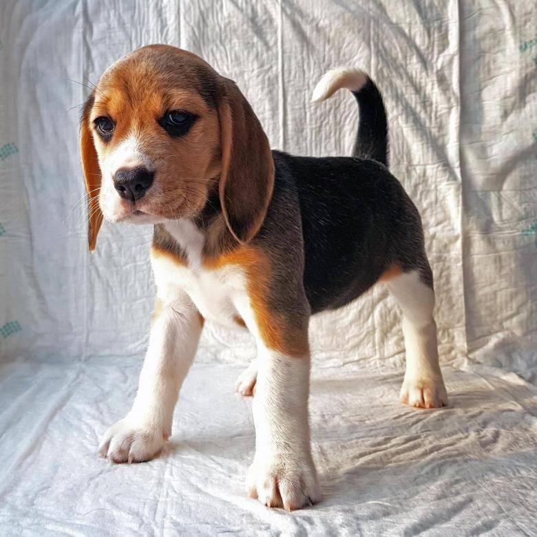 """Особенности породы собак бигль   блог ветклиники """"беланта"""""""