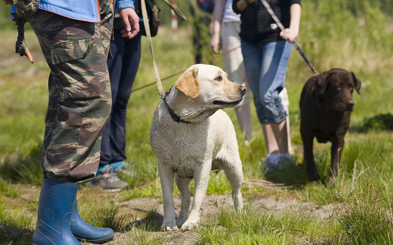 Английский пойнтер одна из лучших охотничьих пород собак