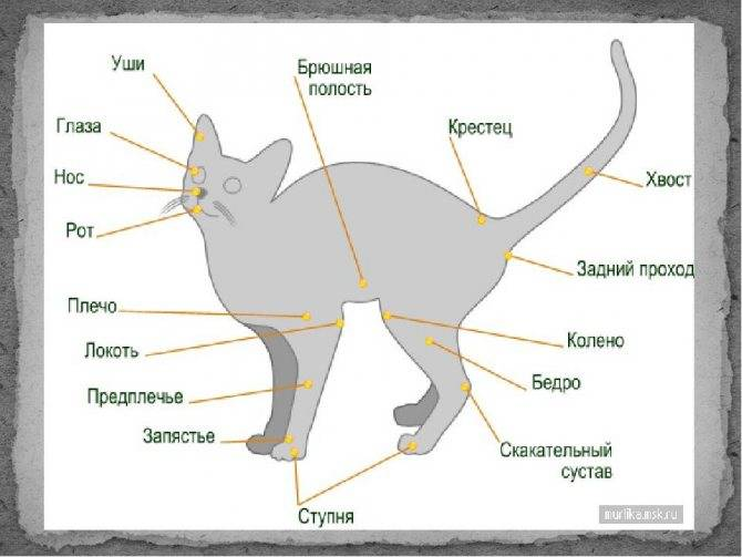 Где находится холка у кошек, ее назначение и как воздействовать на питомца