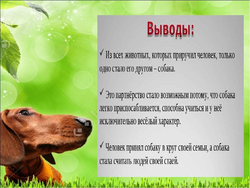 Собака такса: характеристика породы, особенности темперамента, наследственные заболевания