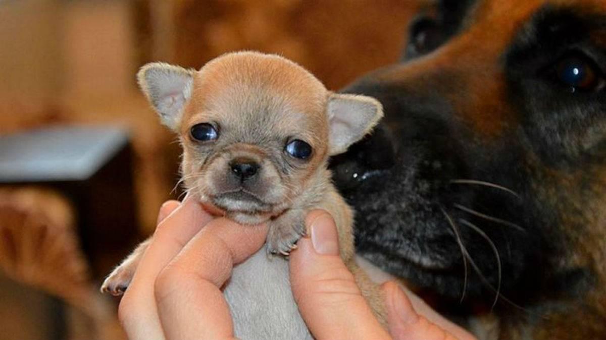 Самые маленькие собаки в мире из книги рекордов гиннеса