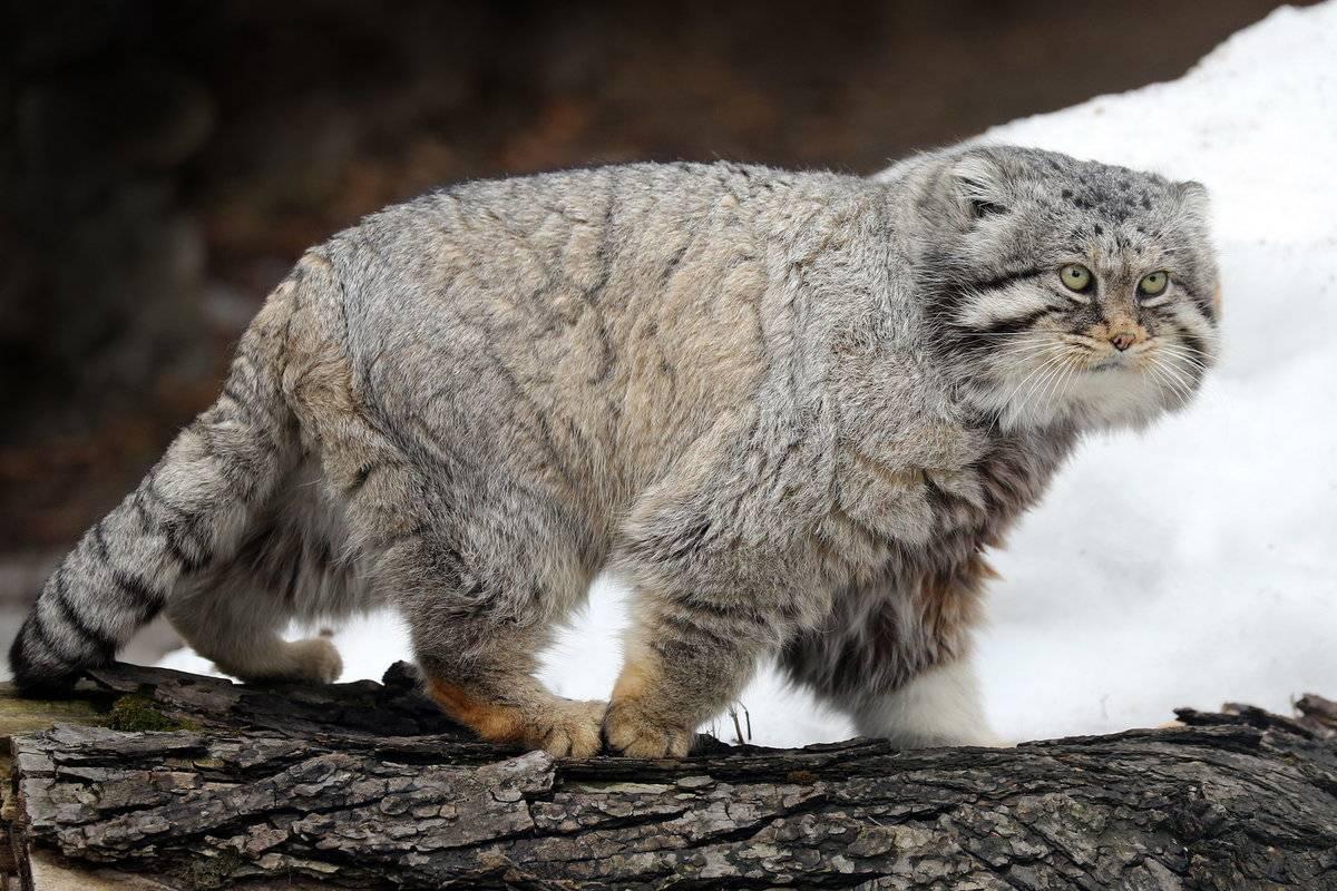 Китайская (гобийская) горная кошка. felis bieti = китайская (гобийская) горная кошка. кошачьи