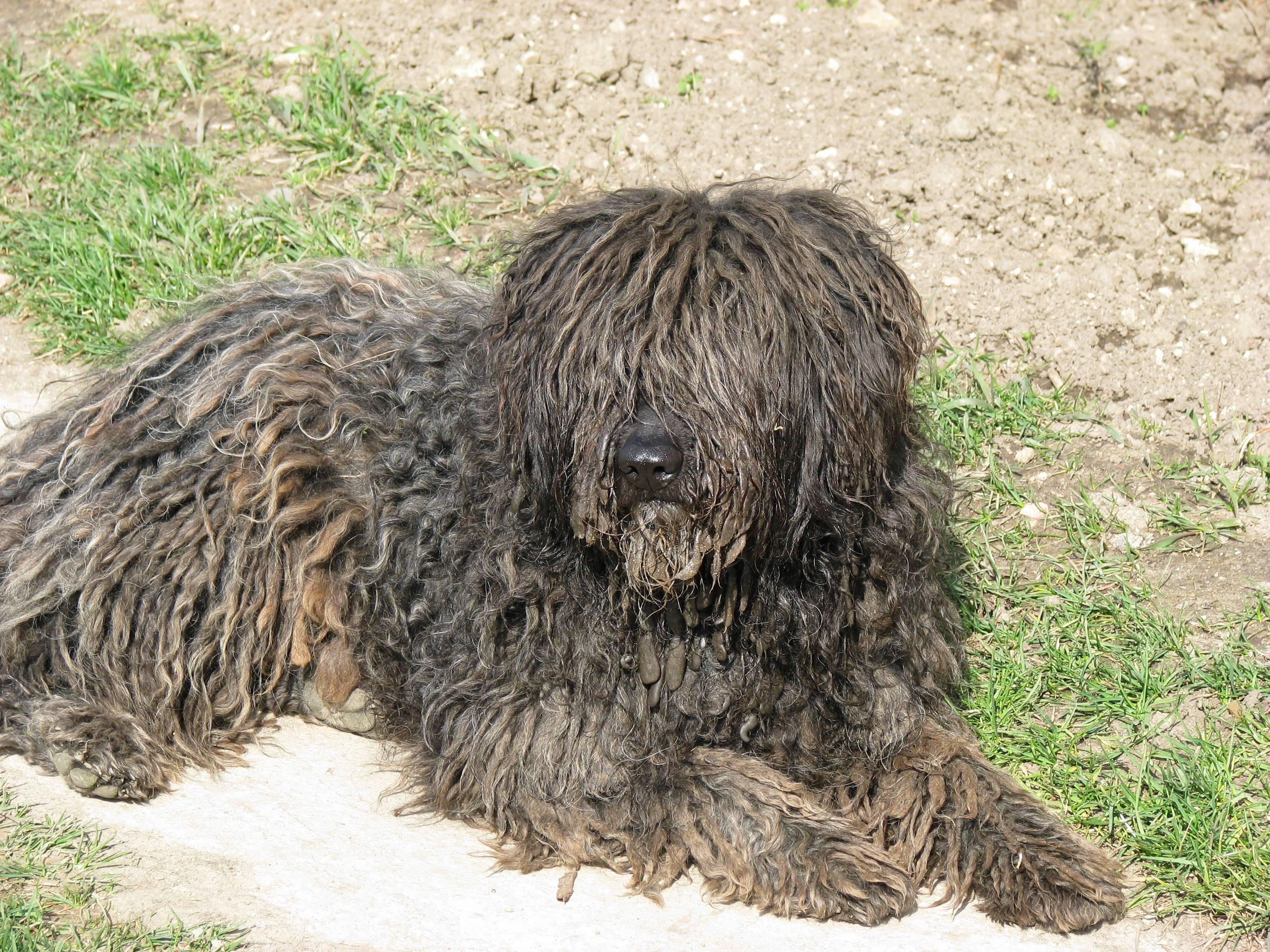 Бергамская овчарка – энциклопедия о собаках