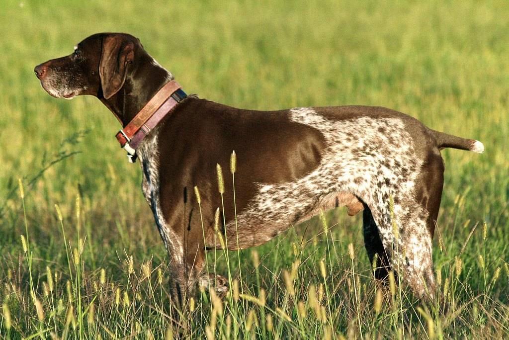 Пойнтеры (37 фото): описание английской охотничьей породы собак, щенки черного и коричневого окраса. как выглядит стандарт породы?