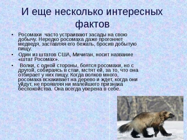 Животное росомаха: описание редкого вида, интересные факты, ареал, образ жизни