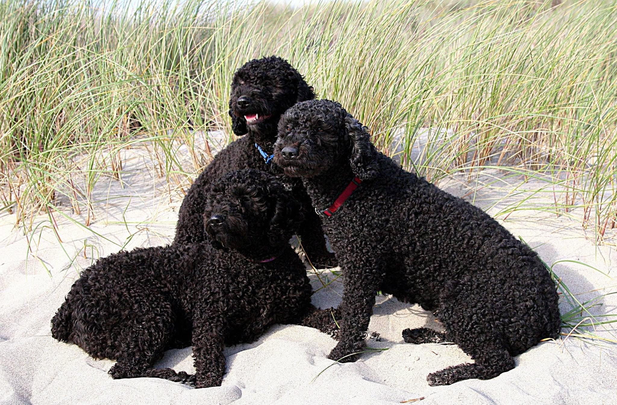Испанская водяная собака: описание, характер и содержание породы