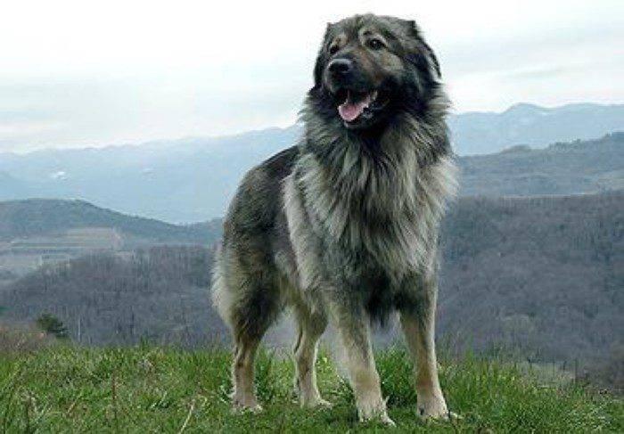 Болгарская овчарка (26 фото): описание каракачанской собаки, содержание и уход за щенками