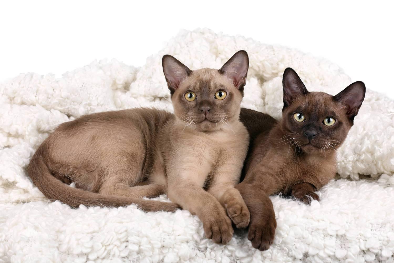 Бурманская кошка: все о кошке, фото, описание породы, характер, окрас, цена, отзывы
