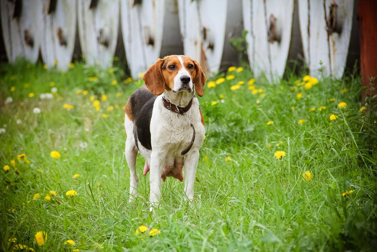 Описание породы собак эстонская гончая: внешний вид, содержание и уход