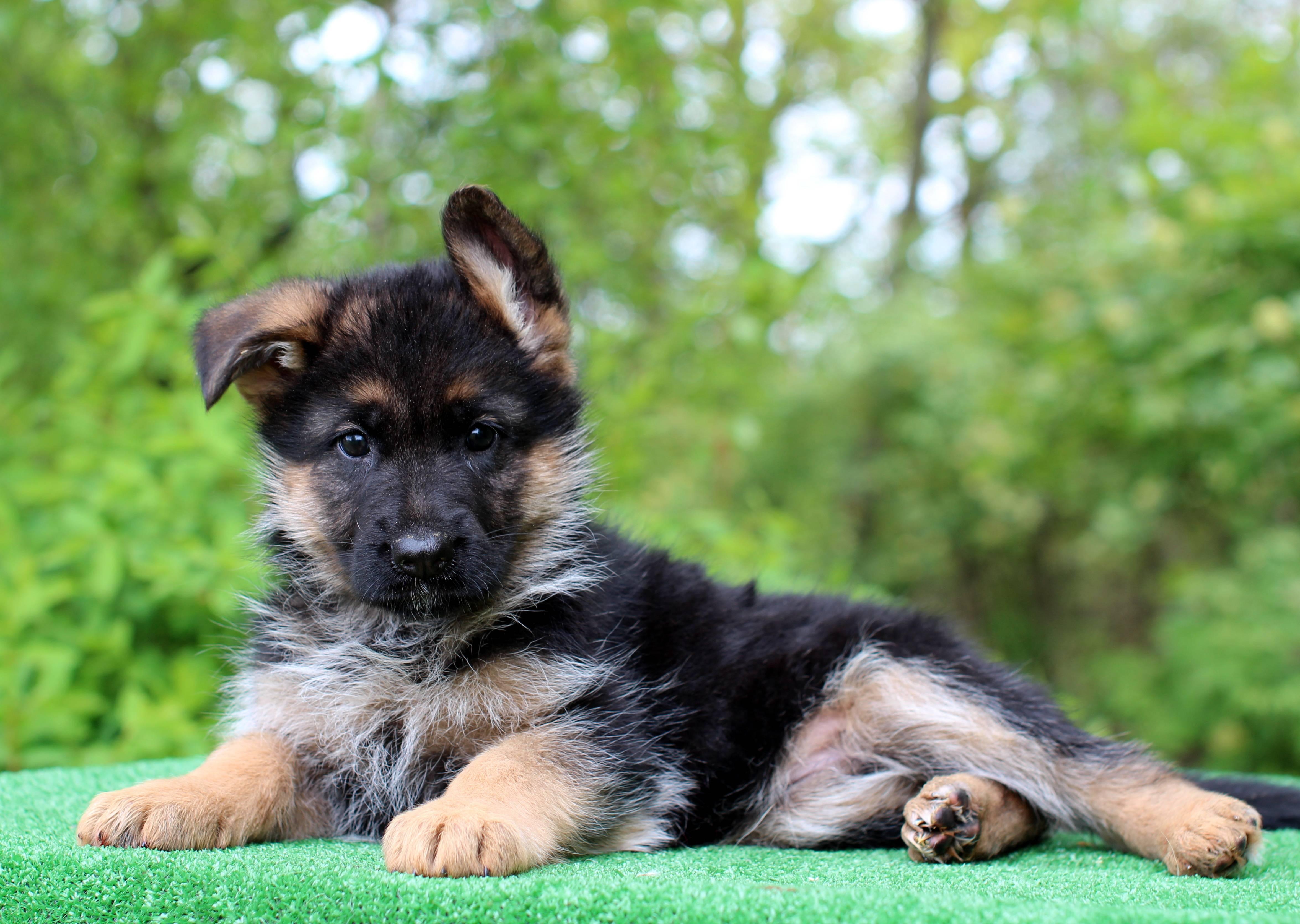 Как выбрать щенка немецкой овчарки — от осмотра до необходимых документов ⋆ собакапедия