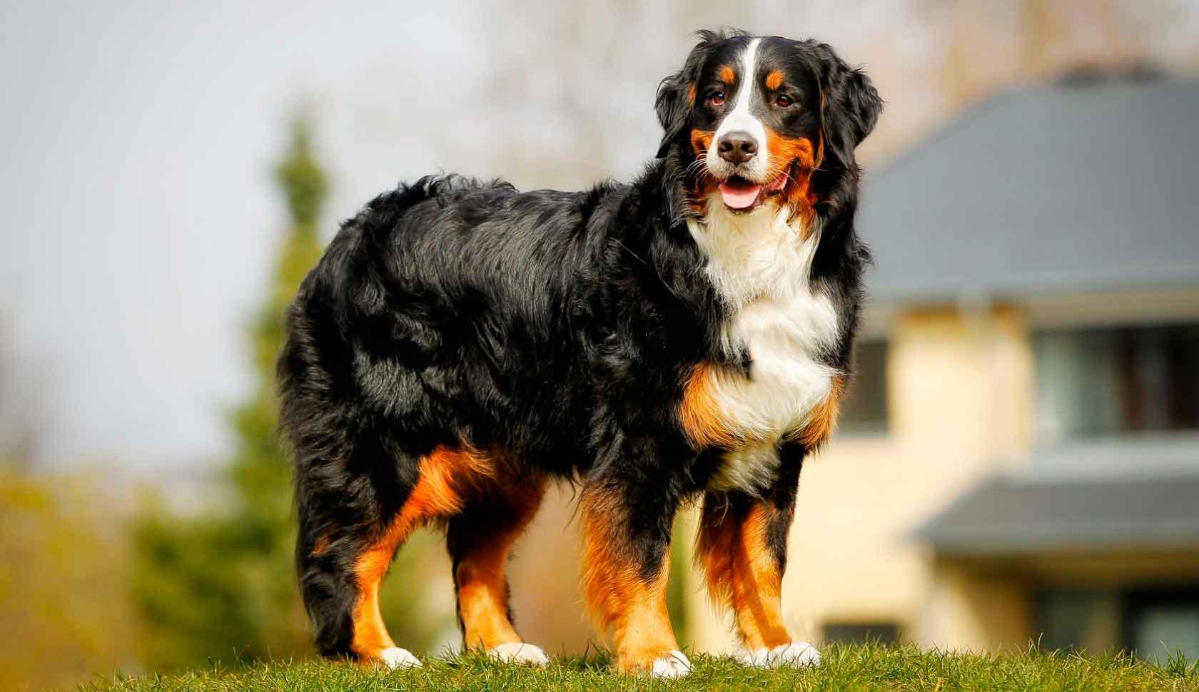 Бернский зенненхунд - порода собак - информация и особенностях   хиллс