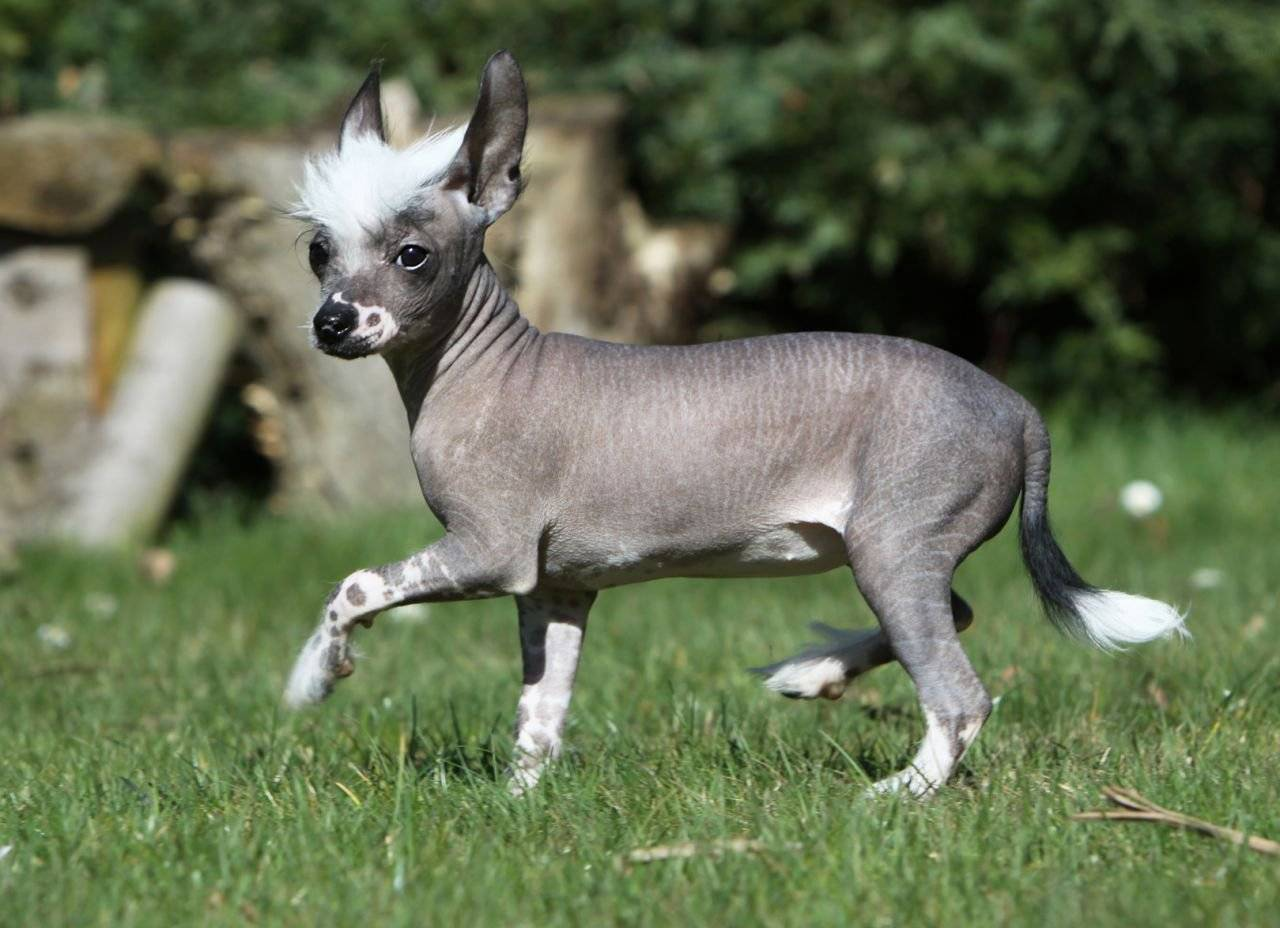 Породы собак без шерсти: особенности, описание, фото, советы