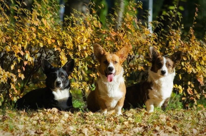 Вельш-корги кардиган и пемброк: отличия породы собак и как выглядят на фото, а также в каком контакте находятся с людьми