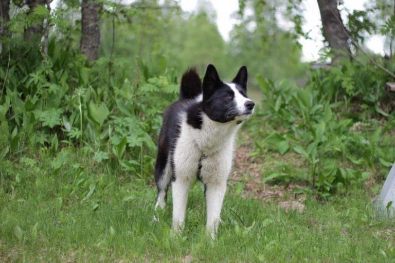 Карельская медвежья собака (лайка): характеристика и фото породы