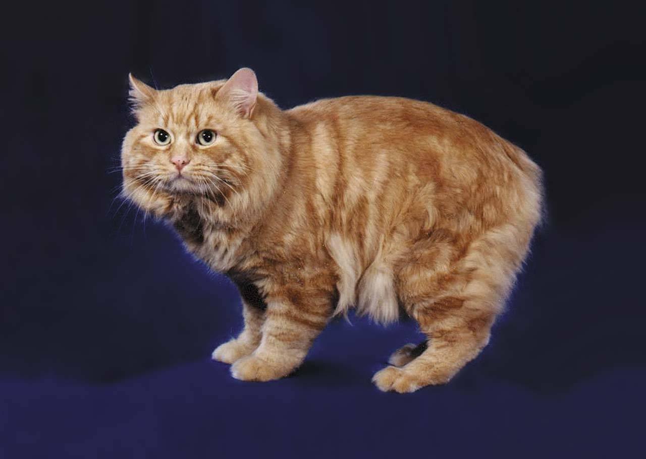 Кимрик или уэльская кошка - мир кошек