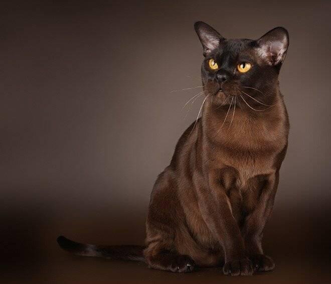 Кошка породы бурмилла: история, внешние особенности, характер, советы по содержанию и уходу, фото