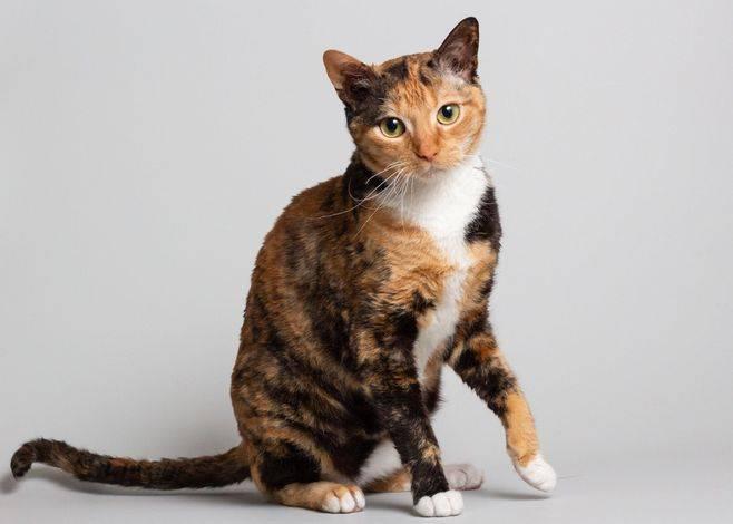 Немецкий рекс: все о кошке, фото, описание породы, характер, цена