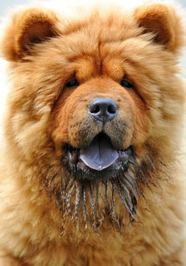 Чау-чау: описание породы, характер питомца, как выглядит на фото, почему имеет синий язык и насколько собака злая