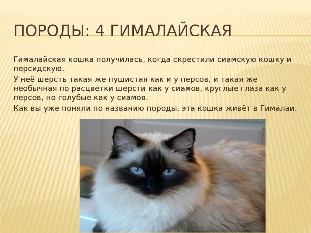 Гималайская кошка — характер котов и котят