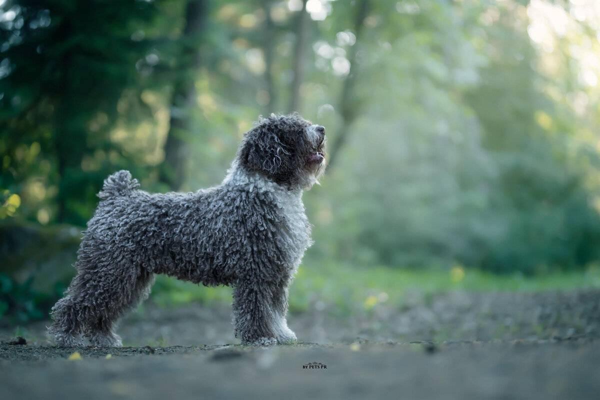 Испанская водяная собака (перро де аква эспаньол): фото, купить, видео, цена, содержание дома