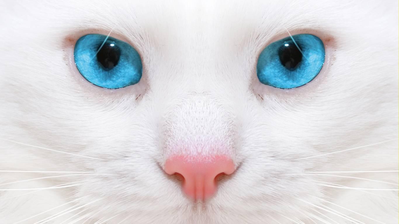 Белая кошка с голубыми глазами — обзор с фото