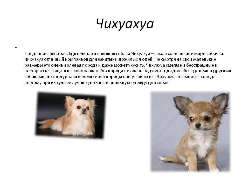 Собака чихуахуа - особенности породы, характер, плюсы и минусы