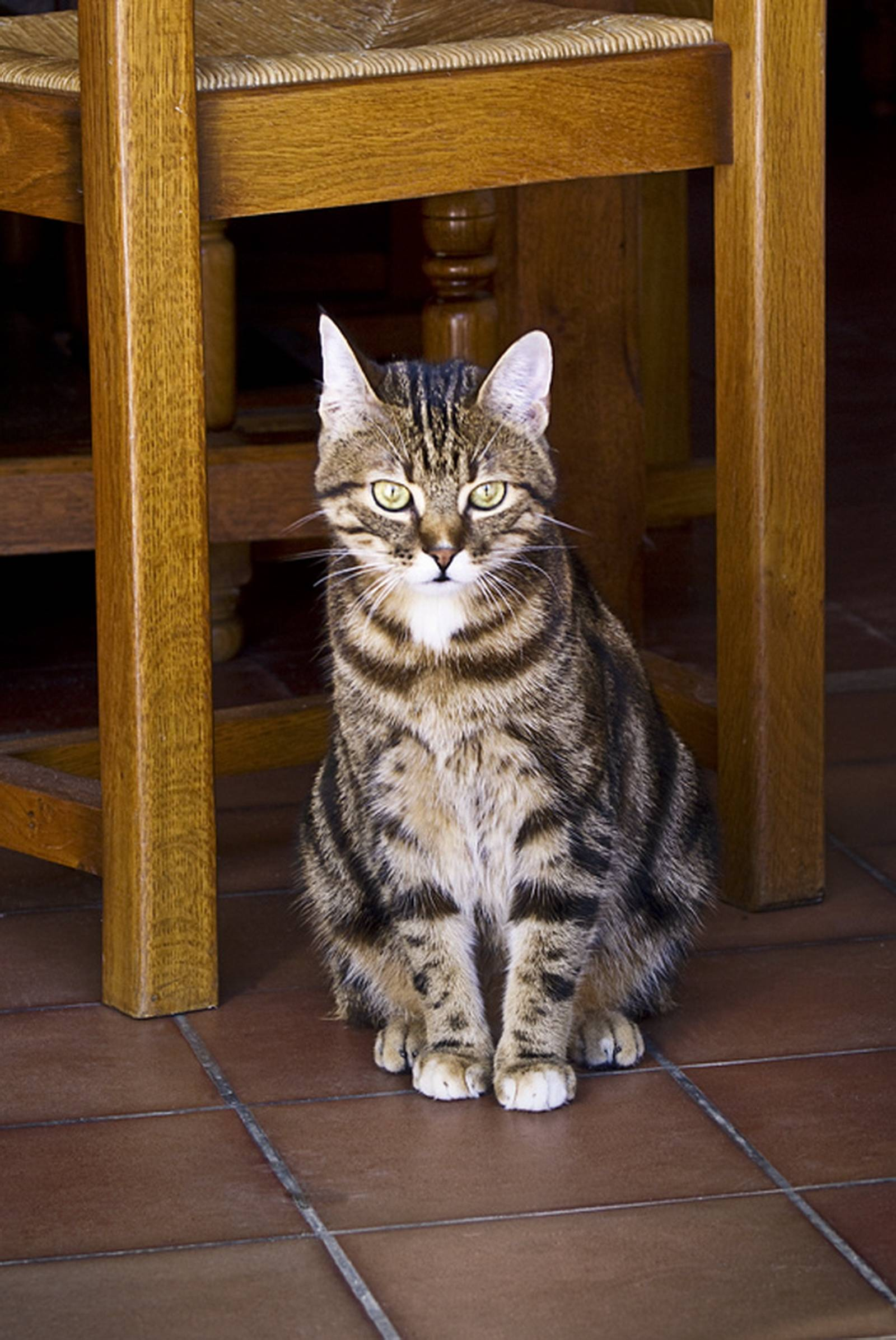 Европейская короткошерстная (кельтская) кошка: описание породы, фото