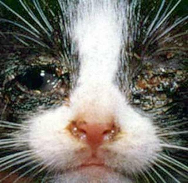 Ринотрахеит у кошек, симптомы и лечение