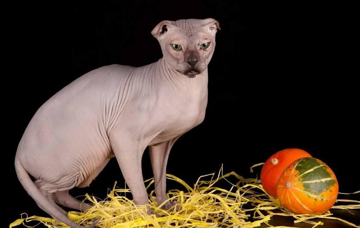 Канадский сфинкс: все о кошке, фото, описание породы, характер, цена