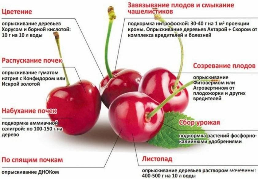 Почему не плодоносит абрикос и что делать для решения проблемы