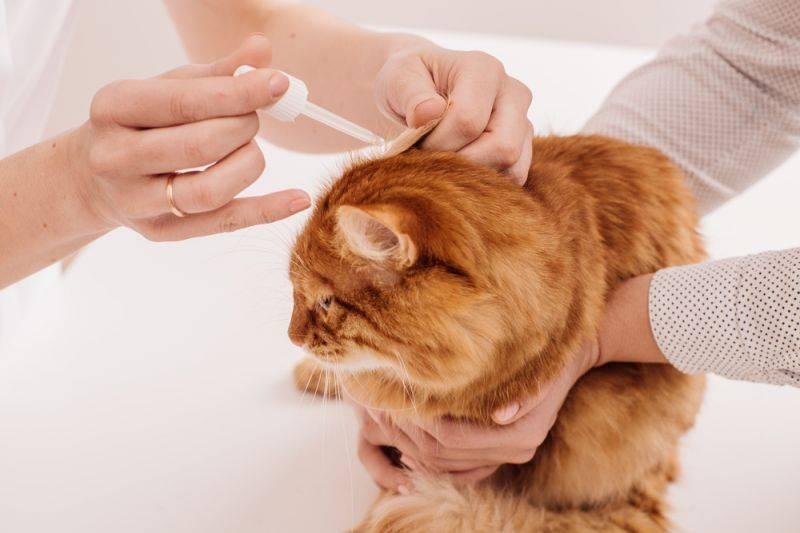 Как и чем почистить уши коту в домашних условиях, надо ли это делать
