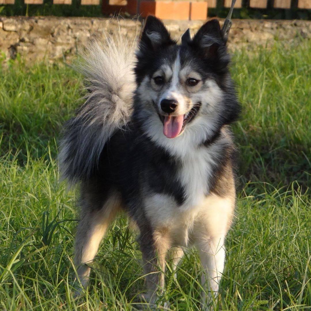 Чукотская ездовая: обзор аборигенной русской породы, фото собаки