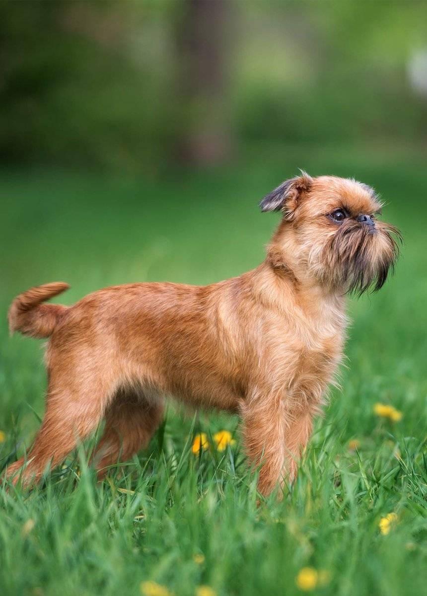 Брюссельский гриффон - фото, описание, история породы маленькой собачки. советы и рекомендации