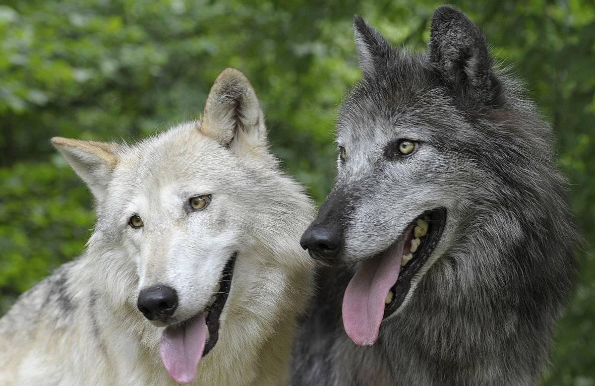 Волкособ: фото и цена щенков гибрида собаки и волка, характеристика чехословацкой волчьей породы (влчак), описание, размеры, сколько стоит вольфхунд (волкопес) в россии?