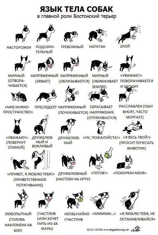 Воспитание и дрессировка собак породы акита-ину: основные правила обучения и наиболее частые ошибки владельцев