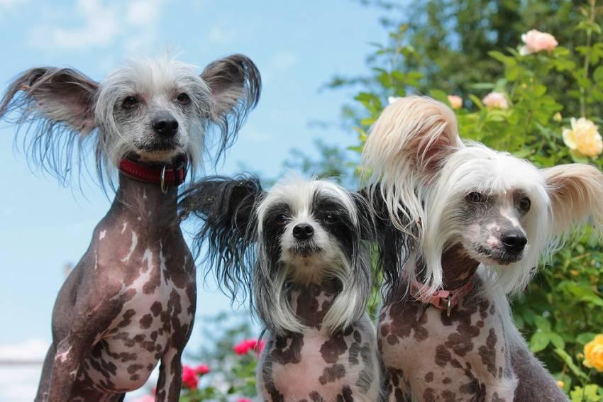 ᐉ собаки-компаньоны: 25 лучших пород для квартиры, семьи и ребенка - kcc-zoo.ru