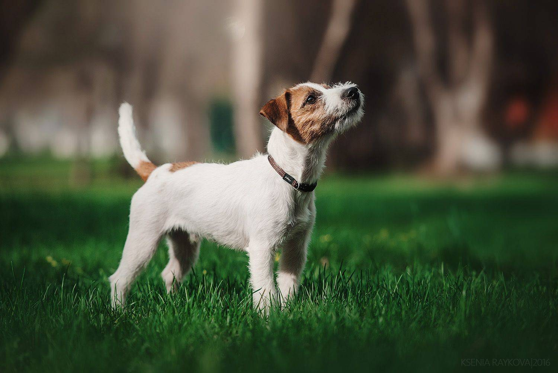 Парсон рассел терьер: описание породы собак с фото и видео