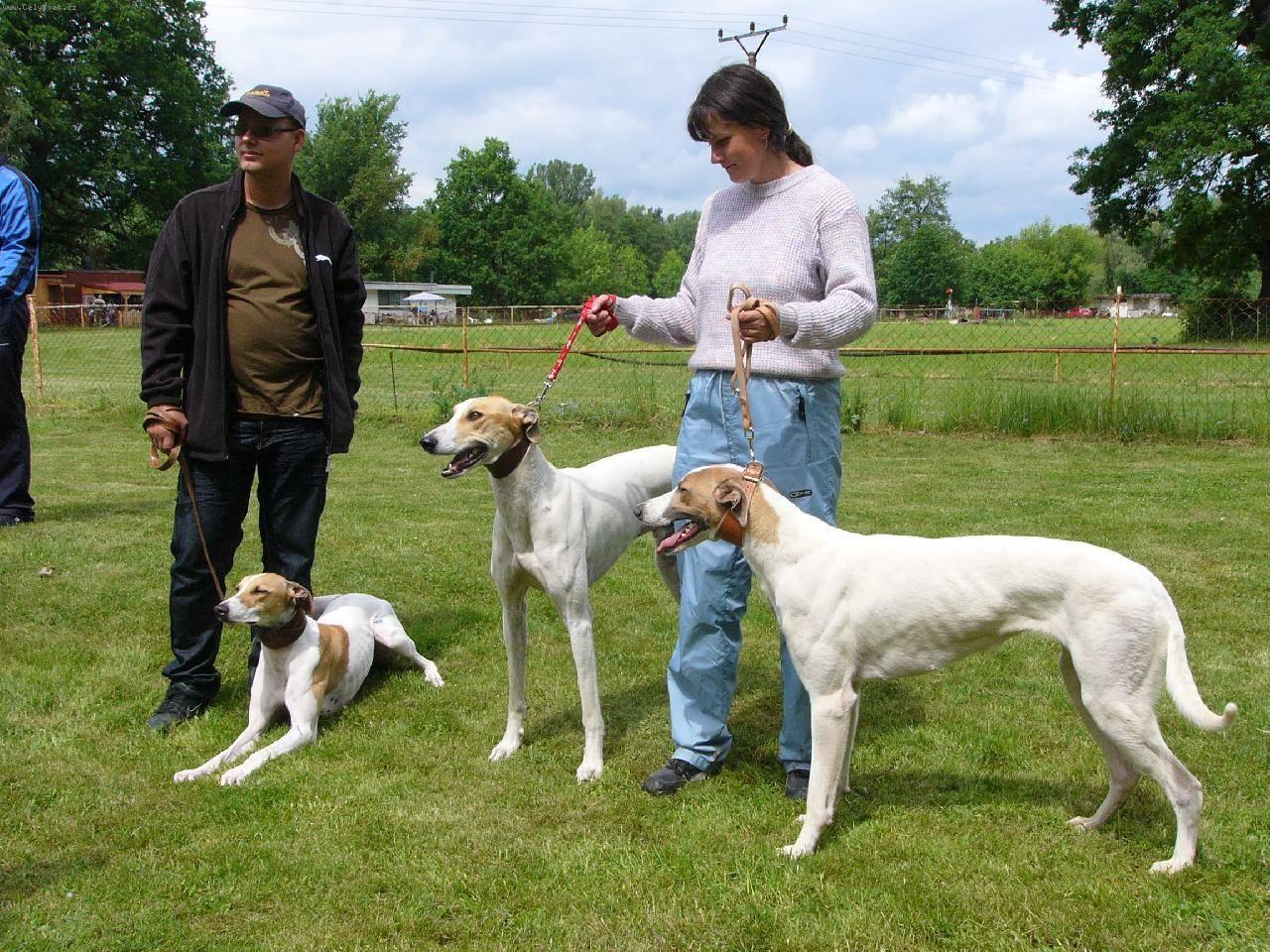 Борзые собаки (42 фото): описание щенков. московская и кенгуровая, австралийская охотничья и другие породы