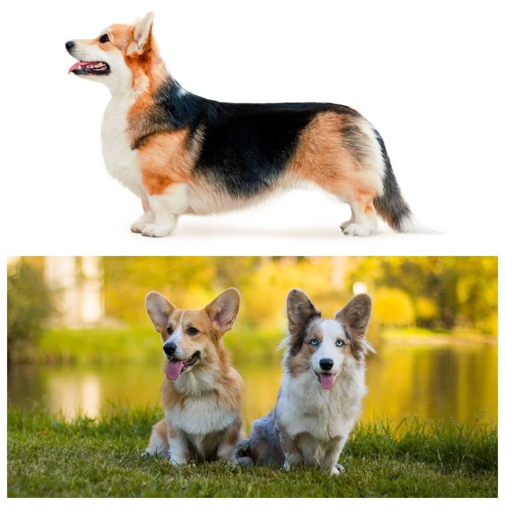 Отличия собак вельш-корги кардиган и пемброк: особенности питомцев и их сравнение по нескольким характеристикам